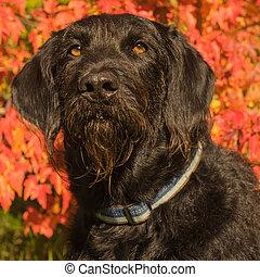 labradoodle, hund, porträt