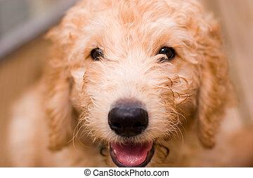labradoodle, junger hund, an, 10, w