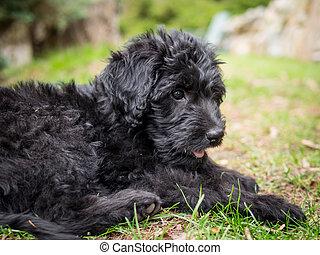 labradoodle, junger hund