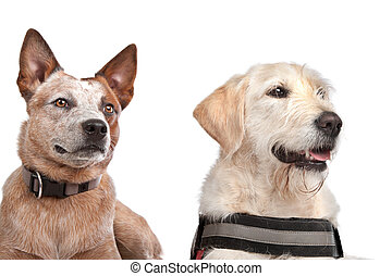Labrador and Australian Cattle dog
