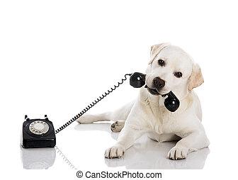 Labrador answering a call - Portrait of a labrador retriever...