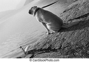labrador at the lake