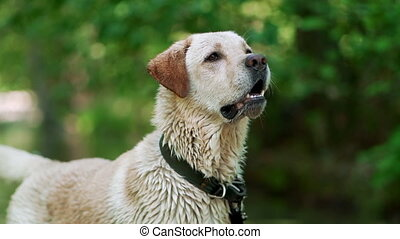 Labrador bathes in river or lake in summer hot weather. Dog has fun, rejoice, walks in nature. Concept of pets, friendship, devotion.
