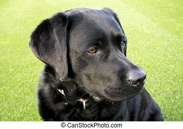 Labrador - beautiful dog