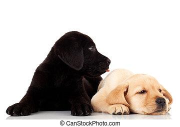 labrador,  CÙte, zwei, hundebabys