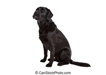 labrador, casta, perro, flat-coated, cruz, perro cobrador