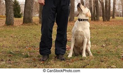labrador, chien