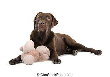 labrador, chocolade, dog, retriever