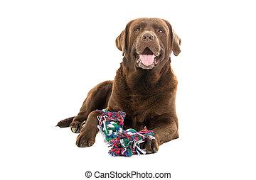 labrador, chocolade