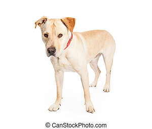 Labrador Cross Dog Standing to Side