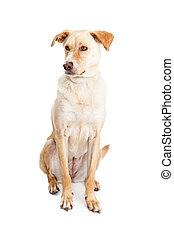 Labrador Crossbreed Dog Sitting Looking to Side - A...