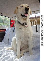 labrador dog in car