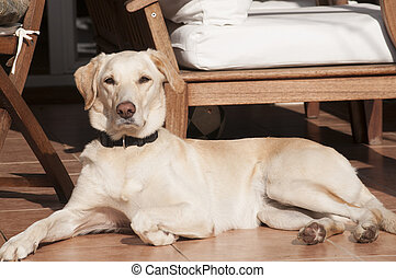Labrador dog on fall sun lit porch
