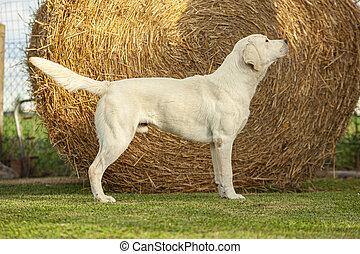 Labrador Dog Posing 3