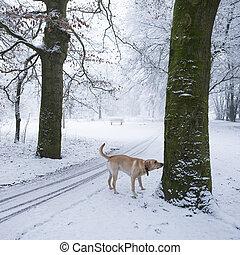 labrador dog sniffs tree in winter snow forest landscape