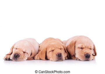 labrador, drei, eingeschlafen, junger hund, hunden, apportierhund