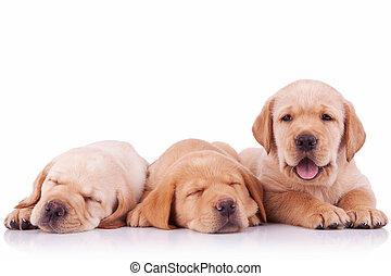 labrador, drei, junger Hund, bezaubernd, hunden, Apportierhund