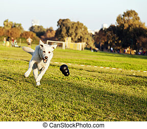 A mixed Labrador female dog caught in the middle of fetching a chew toy at the park.