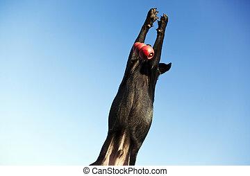 Labrador Fetching Dog Chew Toy at Park - A mixed Labrador ...