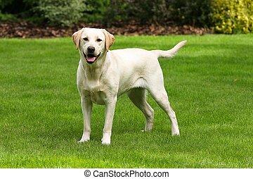 labrador, gelber , apportierhund