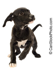Labrador German Shepherd Mix Puppy, Canis Familiaris, isolated on White