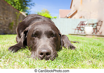 labrador, giardino, rilassante, cioccolato