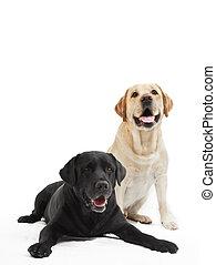 labrador, honden, twee, retriever
