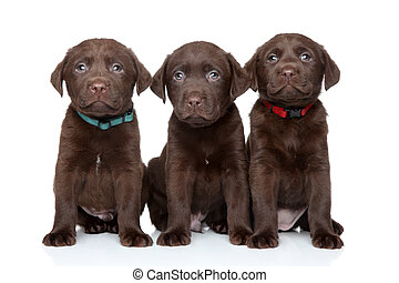 labrador, hundebabys, drei, Apportierhund
