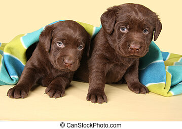 labrador, hundebabys