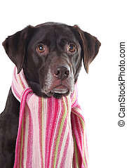 Labrador in a pink scarf