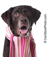 Labrador in a scarf