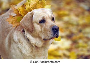 labrador in the autumn park