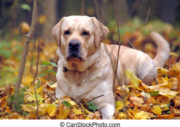 labrador in the park in autumn