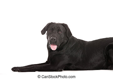labrador is waiting