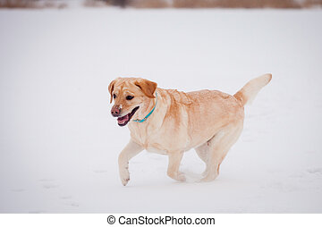 labrador, jaune, retriever