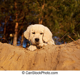 Labrador - labrador