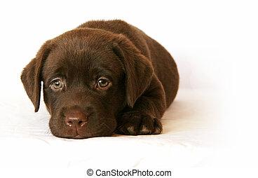 Labrador - labrador's puppy