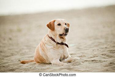 labrador, lefektetés, képben látható, homok