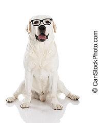 labrador, met, bril