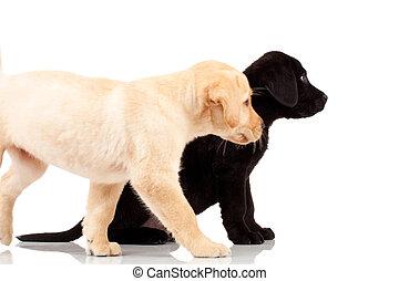 labrador, mignon, deux, chiots
