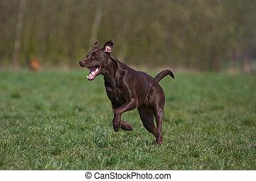 Labrador mix jumping