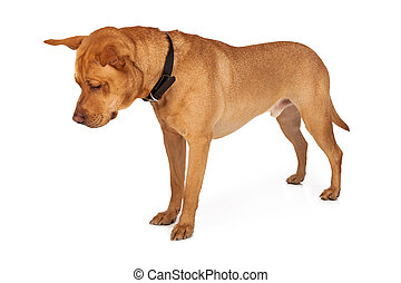 Labrador Mixed Breed Looking Down - Labrador Retriever mixed...