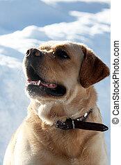 labrador, oberseite, rasse, hund, gelber , aussehen