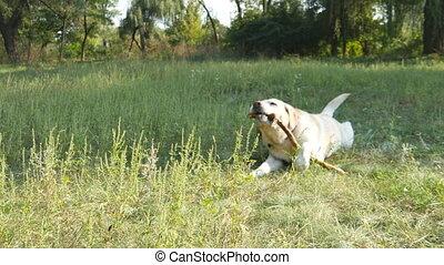Labrador or golden retriever eating wooden stick outdoor....