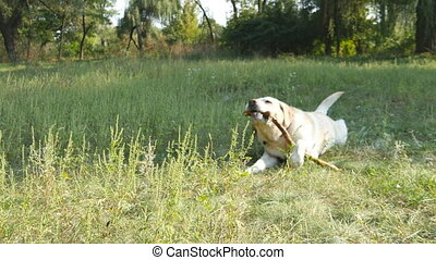 Labrador or golden retriever eating wooden stick outdoor. Animal chew and biting a stick at nature. Dog playing outside. Summer landscape at background. Close up
