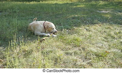 Labrador or golden retriver eating wooden stick outdoor. Animal chew and biting a stick at nature. Dog playing outside. Summer landscape at background. Slow motion. Close up