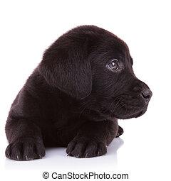 labrador, perro, mirar, algo, perrito, perro cobrador