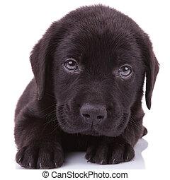 labrador, perro, mirar, cámara, negro, perrito, perro...