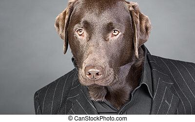 labrador, pinstripe, chocolade, het kijken, kostuum, koel