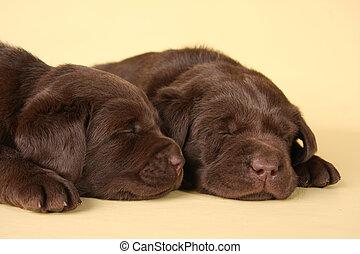 Labrador puppies - Two sleeping labrador retriever puppies.